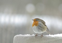 Chilly robin (frank.hs. catching up.) Tags: ngc theunforgettablepictures natureselegantshots qualitygold mygearandmepremium mygearandmebronze mygearandmesilver mygearandmegold mygearandmeplatinum mygearandmediamond rememberthatmomentlevel4 rememberthatmomentlevel1 rememberthatmomentlevel2 rememberthatmomentlevel3