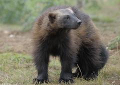 Wolverine (gentle lemur) Tags: wolverine whipsnade gulogulo
