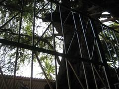 Brahma - Vanni Tree 3
