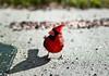 Vibrant Cardinal (mjkjr) Tags: 135l 2010 30265 550d dof december6 december62010 ef135mmf2lusm georgia t2i atl atlanta bird birding birdseed bokeh cardinal clubsi cowetacounty f28 ga httpwwwflickrcomphotosmjkjr mjkjr mohawk newnan orly potn rebel red telephotolens vibrant