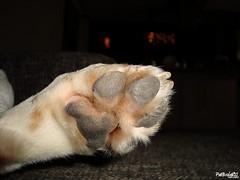 Zampa (PatBrolati) Tags: dog beagle perro peter cachorro mascota perrito cagnolino