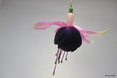 Fuchsia 'Roesse Sirrah' (pennyeast) Tags: flower botanical fuchsia capetown papaalphaecho