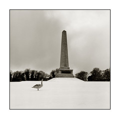 Phoenix Park Swan (Monosnaps) Tags: park city trees ireland our urban bw dublin snow phoenix poster lost swan fuji postcard special hasselblad posters wellington friendly rodinal dub dubs everyones acros monosnaps