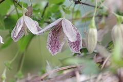冬咲きクレマチス シルホサ・フレックレス