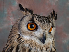 Bengal Eagle Owl - head (expatscot) Tags: uk bird eye wales studio beak feathers feather olympus owl gb bengaleagleowl birdsofprey birdofprey monmouthshire eagleowl e510 bengalowl caldicot olympuse510 caldicotcameraclub