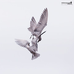 Little Tern | Dog Fight :) (Sir Mart Outdoorgraphy) Tags: birds magazine education nikon photographer bokeh outdoor birding best malaysia penang indah dogfight birdwatching birder butterworth birdisland byram unik nikonian d90 migratorybirds bairam menarik nikonuser nibongtebal jurugambar penangflickr sigma150500 pulauburung sirmart outdoorgraphy penangflickrgroup pulauburong littleternsternaalbifrons