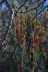 Sharvitan in Lifta DSC_0030 (chaimm) Tags: winter red nature israel jerusalem wildplants lifta flowercolors sharvitan leaflessephedra