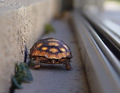 hello, I must be going (Laurarama) Tags: baby walking turtle tortoise tunnel endangered sonydscf717 whimsical burrowing protectedspecies ourdailychallenge