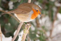 Robin With Snow & Ivy, Rickmansworth (flatworldsedge) Tags: christmas snow bird robin branches feathers ivy perched snowfall twigs plumage explored yahoo:yourpictures=wildlife yahoo:yourpictures=winter yahoo:yourpictures=christmas yahoo:yourpictures=winterv2