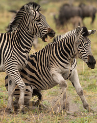 Battle of Zebra - Wild Dogger