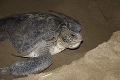 A Green Sea Turtle Laying Eggs at Sukamade Beach, Java (Rowan Castle) Tags: indonesia java sukamade img6709