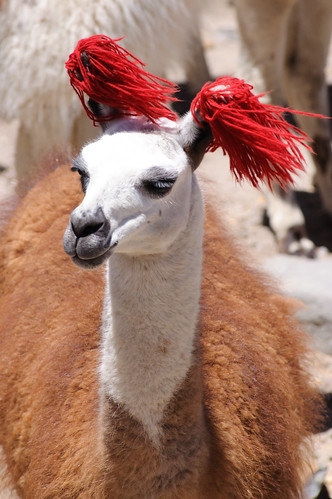 A decorated llama