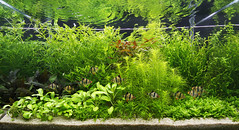 dutch final (George Farmer) Tags: dutch aquarium fishtank aquascape tigerbarbs georgefarmer ukaps aqueousartmovement