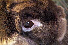 Snuggle Bunny Macro (antaean) Tags: pet pets rabbit bunny sony rabbits alpha bunnys a100