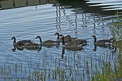 Of Geese & Reflections (jimgspokane) Tags: birds reflections geese wildlife otw thewonderfulworldofbirds