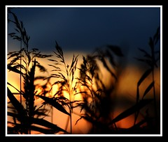 I saw a New Year start, and felt you in my heart.... (Levels Nature) Tags: park uk light sunset england sun sunlight reed nature silhouette reeds gold golden glow dof silhouettes somerset apex burnham burnhamonsea apexpark saariysqualitypictures mygearandme blinkagain blinkagainwinners