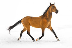 golden happy new year (Dan65) Tags: new winter horse white snow ice gold golden year january buckskin dun gelding teke akhal akhalteke