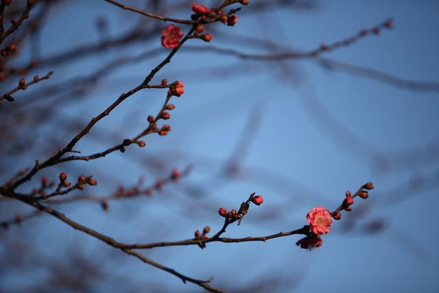 梅花の芽吹き