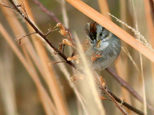 Swamp Sparrow 2-20110104