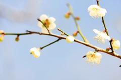 陽光梅園 (samyaoo) Tags: bokeh plum taiwan 南投 台灣 plumblossoms 梅花 nantou shinyi 信義 牛稠坑 柳家梅園 百微 散景 ef100mmmacrof28