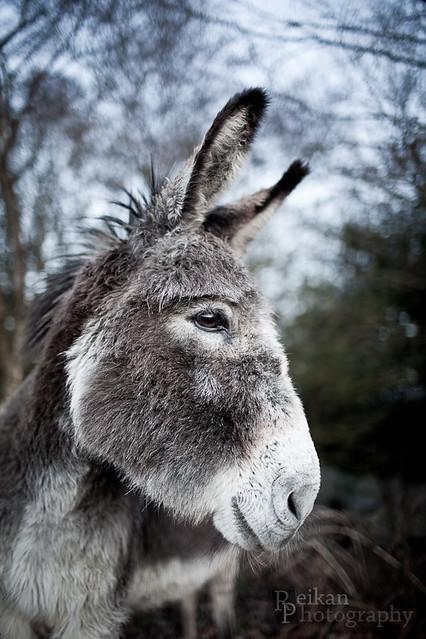 Donkey 2 (8/365)