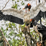 20101229_BZE Zoo_King Vulture_2522.jpg thumbnail