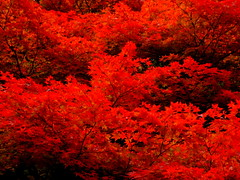 (( _`) Sho) Tags: red japan maple kyoto