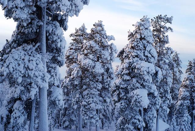 snöskog