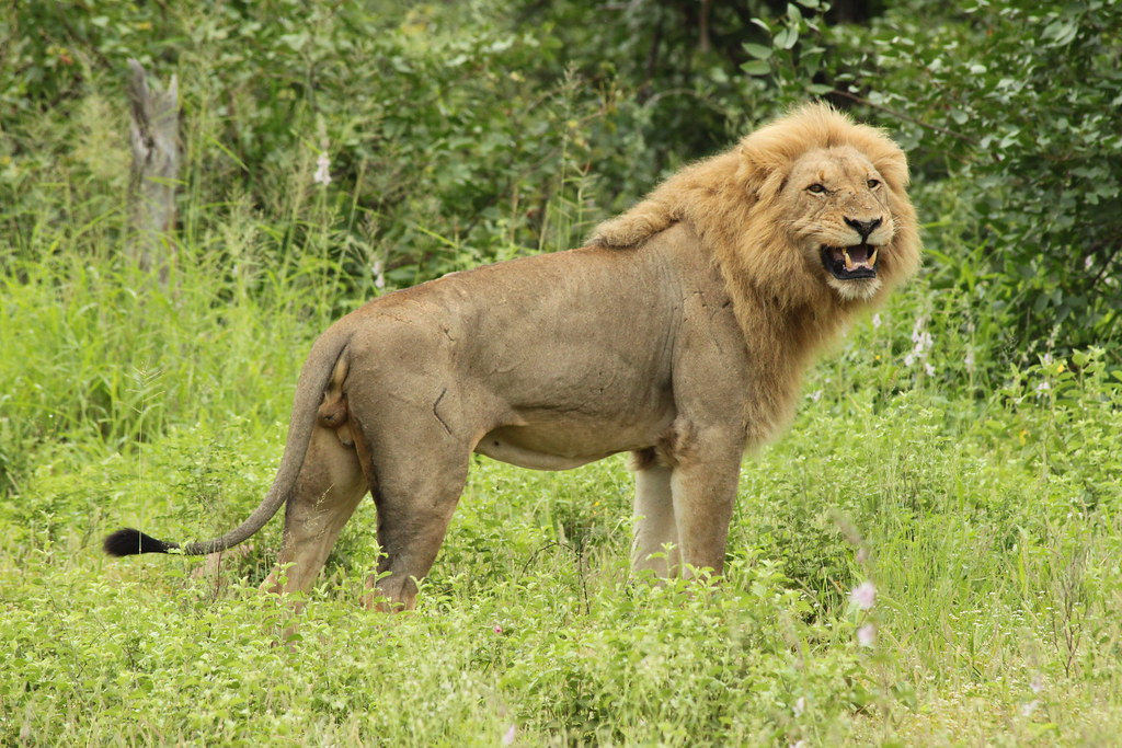 Do lions have a larger lattissumus Dorsi muscle then ...