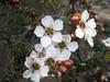 Tea Tree IMG_2572 (MargaretDonald) Tags: teatree myrtaceae leptospermum barranjoey leptospermumsquarrosum