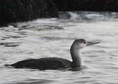 Red-throated Loon (Tombo Pixels) Tags: bird canon duck newjersey jetty nj loon redthroatedloon redthroated allenhurst twb1 allenhurstjetty allenhurst0015