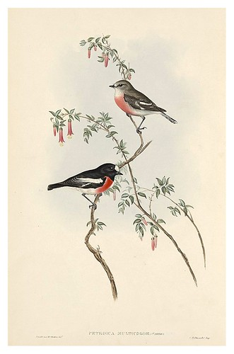 018-Petroika multicolor-The Birds of Australia  1848-John Gould- National Library of Australia Digital Collections