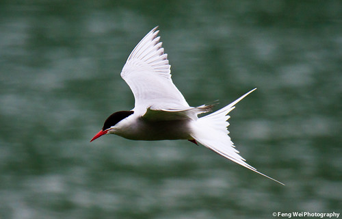 The Beautiful and Elusive Arctic Tern, Flying Over Tern Lake In Alaska