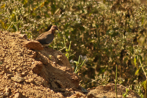Laughing Dove spotted at manchanebele