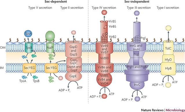 Tipos de secretores de bactérias gram-negativas
