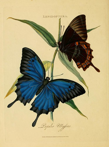 018-Papilio Ulysses- An epitome of the natural history of the insects of India…1800- Edward Donovan