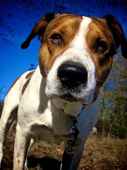 what chu say bout me?! (Willow Creek Photography) Tags: dog mutt canine harley mansbestfriend mongrel femaledog inyourface brownandwhitedog pitbullmix houndmix harleyrey kingstonreyphotography