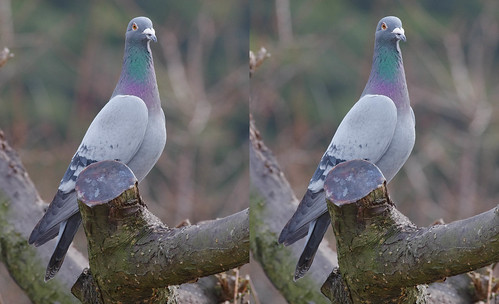 Columba livia, stereo parallel view