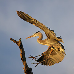 Great Blue Heron Landing (Sunset Lighting)  [Explored best position #22] (bmse) Tags: blue heron great landing wingspan salah bolsachica bmse baazizi