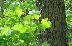 Leaves in sunlight (Elisa1880) Tags: sunlight netherlands leaves leiden boom bos zonlicht bladeren