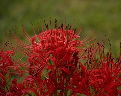 Spider Lily (Photographs By Wade) Tags: spiderlily perennial skiatook oklahoma flower weird
