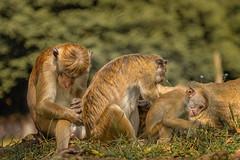 Still working (Renate Bomm) Tags: mihintale northcentralprovince srilanka hutaffen affen animal krperpflege renatebomm 366 2016 canoneos6d ef24105mmf4lisusm macaquedecapo monkey mono affe flickrunitedaward einszweidrei ngc