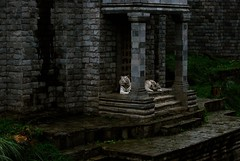White tigers (sz1507) Tags: felines jardindumonde jardin sadness noia 2016 d60 nikond60 gatti cats bigcats blueeyes strisce stripes belgie belgique belgio felini animals animali tigrebianca bianco pairidaiza tigri tigre tigers tiger white