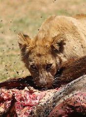 African lion, Panthera leo feeding at Krugersdorp Game Park, South Africa (Derek Keats) Tags: naturereserves taxonomy:binomial=pantheraleo lionseating naturereserve felidae predators bigcats taxonomy:family=felidae lions pantheraleo africanlion nature cats