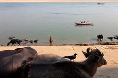 Ghats. Varanasi, India (Marji Lang Photography) Tags: banaras benares bhärat canoneos5dmarkii ef247028l ganga ganges gaudolia godaulia gowdolia hindu india indian indianbuffalo indianman indiansubcontinent kashi käåä« marjilang republicofindia travelanddocumentaryphotography travelphotography uttarpradesh varanasi väräá¹asä« animal animals birds boat buffalo buffaloes buffalos candid crow ghat ghats holycity man oldvaranasi oldcity oldtown people scene street streetphotography streetshot travel ø¨ùø§ø±ø³ ú©ø§ø´û à¤à¤¾à¤¶à¥ बनारस à¤à¤¾à¤°à¤¤à¤à¤£à¤°à¤¾à¤à¥à¤¯ à¤μाराणसॠà¦à¦¾à¦°à¦¤
