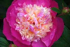 Heavy Petal! (antonychammond) Tags: peony flower garden pink paeoniaceae petals macro naturethroughthelens flowerarebeautiful doublefantasy thebestofmimamorsgroups exquisiteflowers mixofflowers excellentsflowers flickrflorescloseupmacros magicmomentsinyourlifelevel3