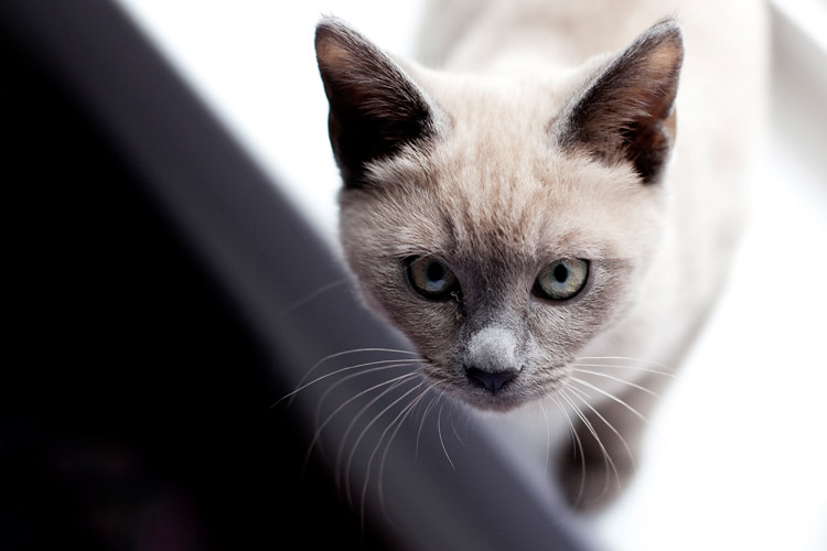 Tonkinese Kitten