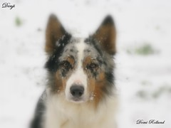 Denji (Domi Rolland ) Tags: chien france nature animal europe neige bordercollie blanc froid millau flocon hivers midipyrénées denji