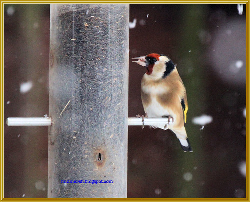 Goldfinch in the Snow