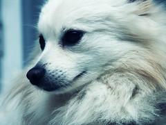 Mutt (Andrew Cookston) Tags: dog mutt eskimo